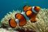 Descubren la maquinaria genética que utiliza el pez payaso al cambiar de sexo