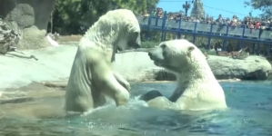 USA: Osa polar muere tras separarla de su compañera durante 20 años