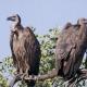 Holanda: 2 buitres gays adoptan y cuidan de un pollito en un Zoo de Amsterdam