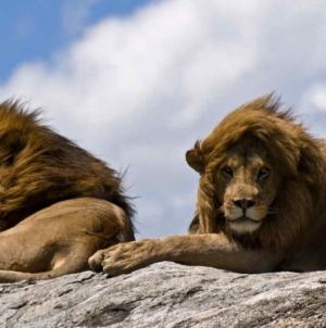 Kenia: Los leones gay que escandalizan al ser pillados en pleno coito