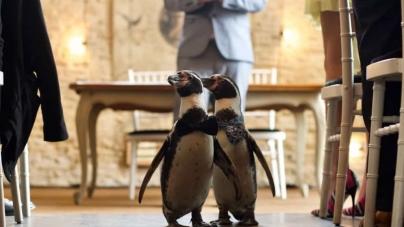 La boda de los pinguinos gay Ferrari y Pringle